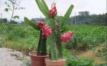 基质配比对火龙果盆栽枝梢长度的影响