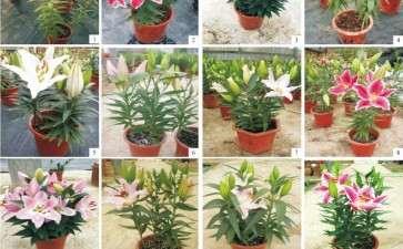 不同品种盆栽东方百合的物候期比较