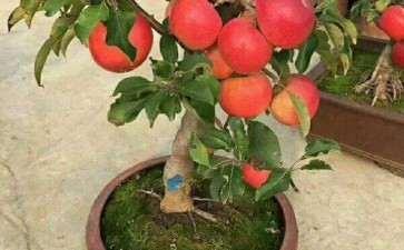 盆栽苹果一株多果的嫁接方法