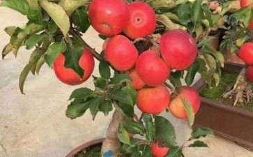 盆栽苹果常见病害怎么防治的方法
