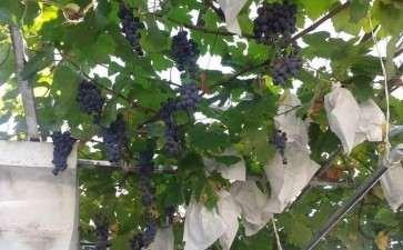 盆栽葡萄快速培育关键栽培技术