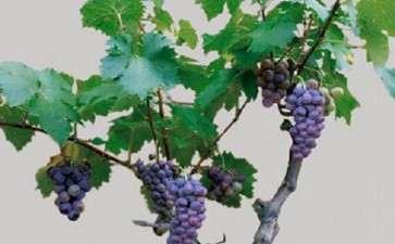 盆栽葡萄怎么土壤选择的3个方法