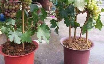 盆栽葡萄怎么幼苗栽种的3个方法
