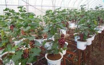 盆栽葡萄怎么施肥和病虫害防治