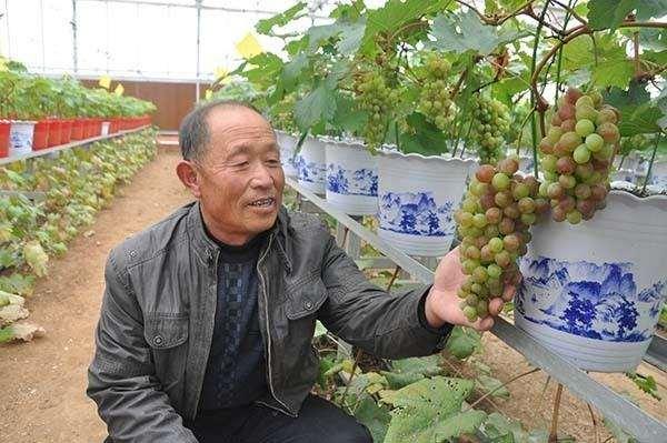 5个适宜盆栽的葡萄品种