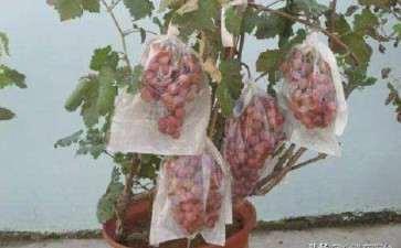 盆栽葡萄怎么栽培的3个方法