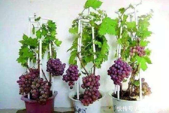 盆栽葡萄怎么枝蔓管理的2个方法