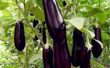 盆栽茄子嫁接成株后怎么管理的6个方法