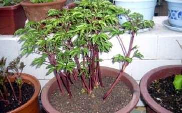 盆栽芍药有机栽培基质的筛选与开发