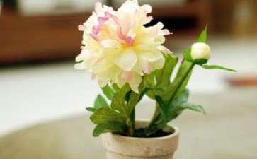 不同栽培基质对芍药盆栽生长情况的影响