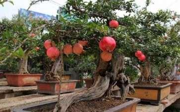 盆栽石榴怎么栽植保成活的2个方法