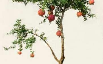 盆栽石榴怎么加强肥水防裂果的3个方法