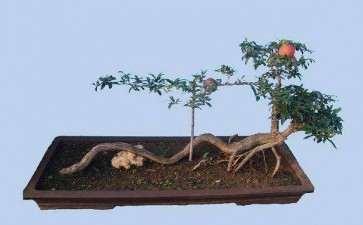 盆栽石榴怎么防治病虫的2个方法