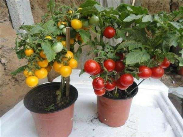 适合蔬菜盆栽的品种有哪些