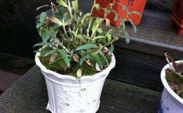 盆栽铁皮石斛生长和抗氧化生理特性动态研究