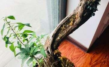 盆栽铁皮石斛组培瓶苗的成活率