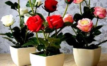 盆栽微型玫瑰岩棉扦插育苗关键技术