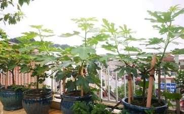 盆栽无花果怎么水肥管理的3个方法