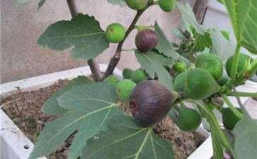盆栽无花果怎么修剪整形的3个方法