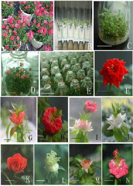 花卉怎么试管开花中的3个影响因素