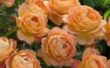 盆栽月季对生长环境的3个要求