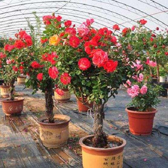 月季盆栽怎么养护与管理的5个方法