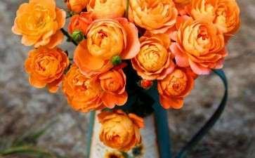 盆栽月季怎么品种选择的4个方法