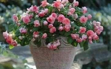 盆栽月季怎么养护管理的3个方法
