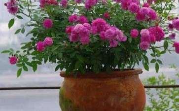 盆栽月季怎么品种选择的3个方法