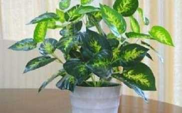 盆栽植物对室内甲醛的净化效果