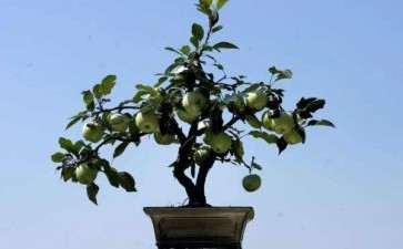 苹果盆栽怎么水肥管理的3个方法