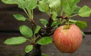 苹果盆栽怎么造型的2个方法