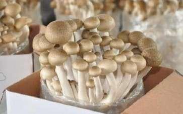 食用菌盆栽在与园林景观中的应用