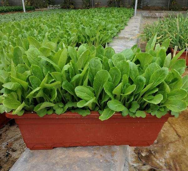 盆栽蔬菜怎么发展前景的6个方法