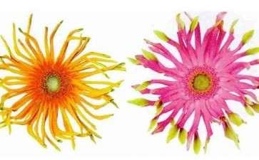 新品种后劲十足滇非洲菊将借力升级