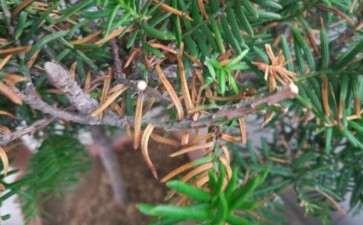 我的红豆杉下山桩是怎么了 图片