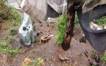 红豆杉下山桩大小4棵 全部成活 图片