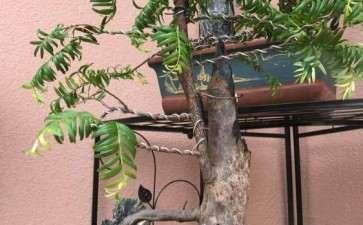 红豆杉下山桩 怎么区别公母 图片