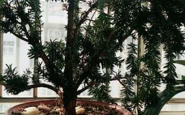 红豆杉下山桩能制作成浅盆盆景吗