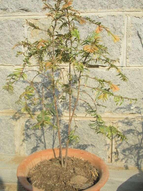 红豆杉下山桩移植室内盆栽后3年不发芽
