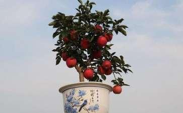 3年生盆栽苹果树根系修剪的研究