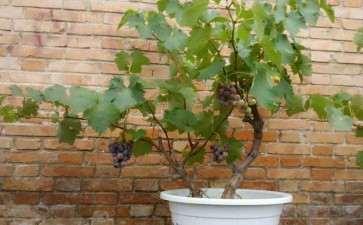 葡萄树桩盆栽怎么上盆的3个方法