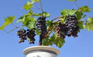 葡萄盆栽的花与果实怎么管理