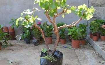 葡萄树桩盆栽怎么换盆 换土与越冬