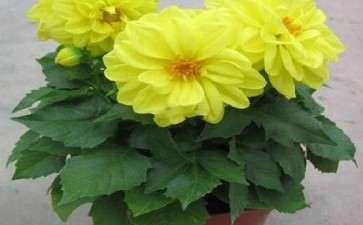 多效唑对盆栽大丽花的矮化作用