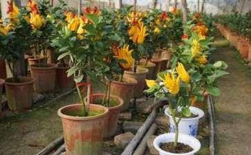 佛手盆栽怎么土壤与换盆的方法