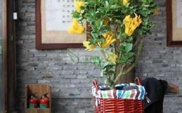 佛手盆栽怎么把握光照与温度的3个方法