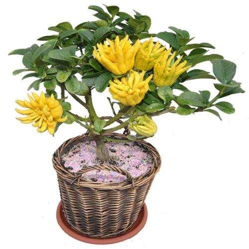 佛手盆栽怎么浇水与施肥的3个方法