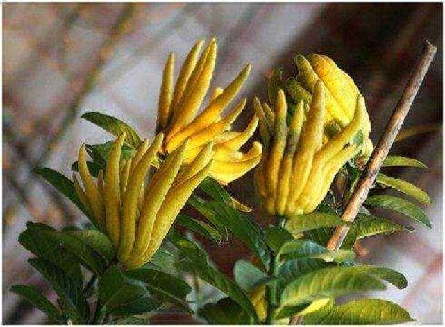 佛手盆栽怎么疏花疏果的3个方法