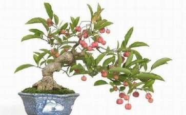 果树盆景接后怎么管理的5个方法